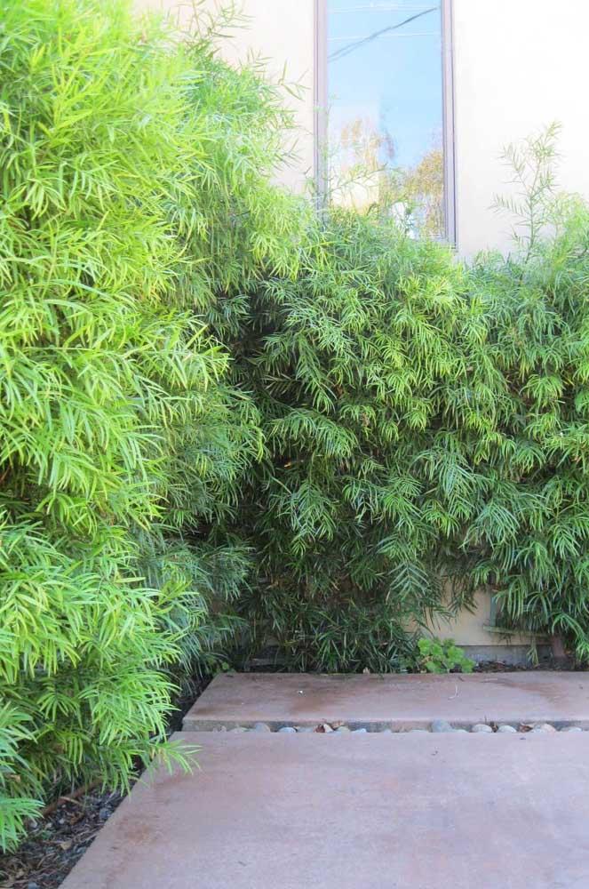 Mur de podocarpe.  L'idée ici est de planter les pins près du mur