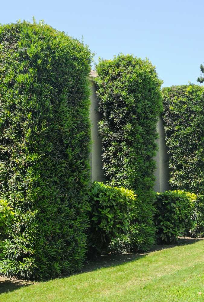Les podocarpes permettent la formation de sculptures vertes dans le jardin, il vous suffit de les tailler comme vous le souhaitez