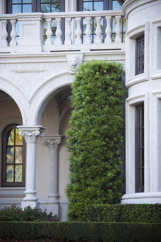 Podocarpo à l'entrée de la maison: l'élégance verte