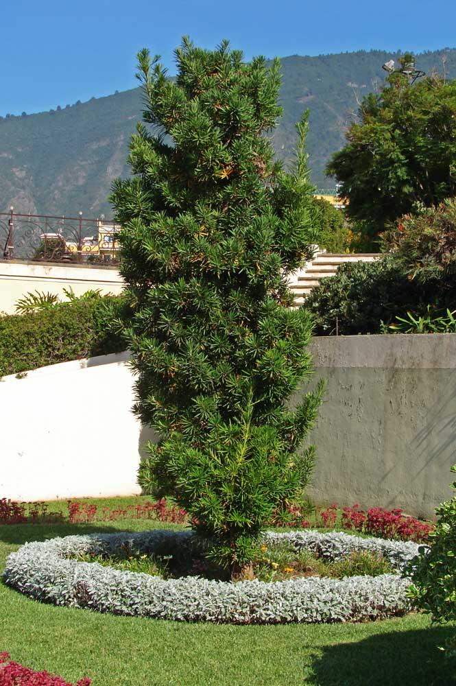 Jardin avec podocarpe: ici, le pin est au centre de l'attention