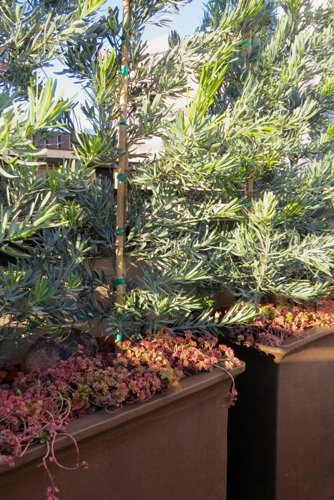 Dans ce projet, les plantes succulentes se reposent à l'ombre des podocarpes